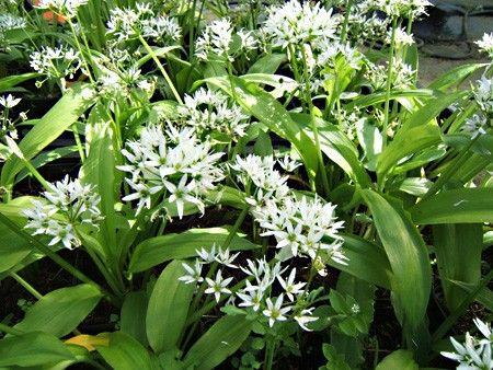 Plant Ail des ours : plantes aromatiques - Aromatiques | Fleurs vivaces, Plantes aromatiques ...