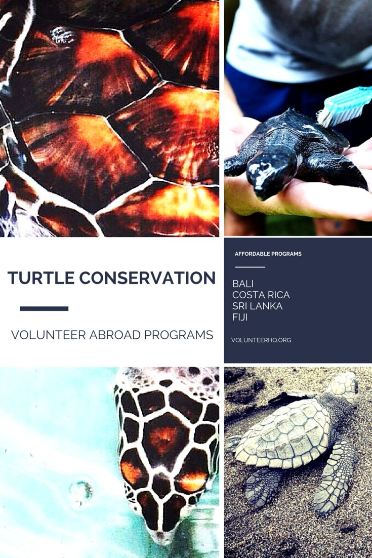 Interested in volunteering abroad in Turtle Conservation? Learn about IVHQ's affordable volunteer travel programs in Bali, Costa Rica and Sri Lanka!