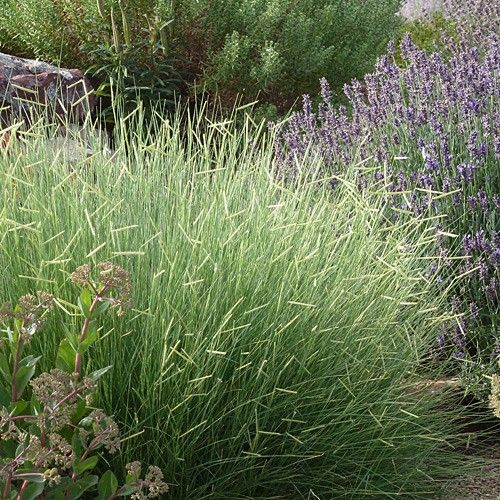 89 best images about landscape decorative grasses on for Tall grass plants