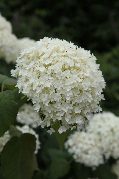 Hydrangea arborescens 'Annabelle':
