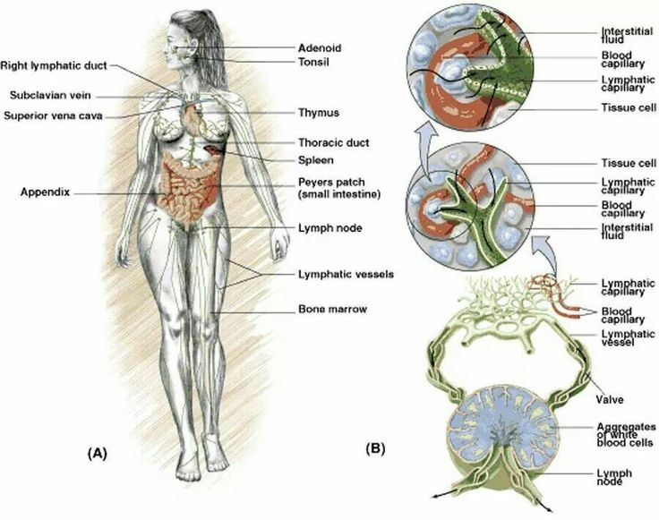 24 best Anatomy : lymphatic system images on Pinterest   Lymphatic ...