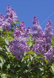 Risultati immagini per cespugli da giardino lilla