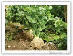 Корневой сельдерей выращивание, уборка урожая и хранение.