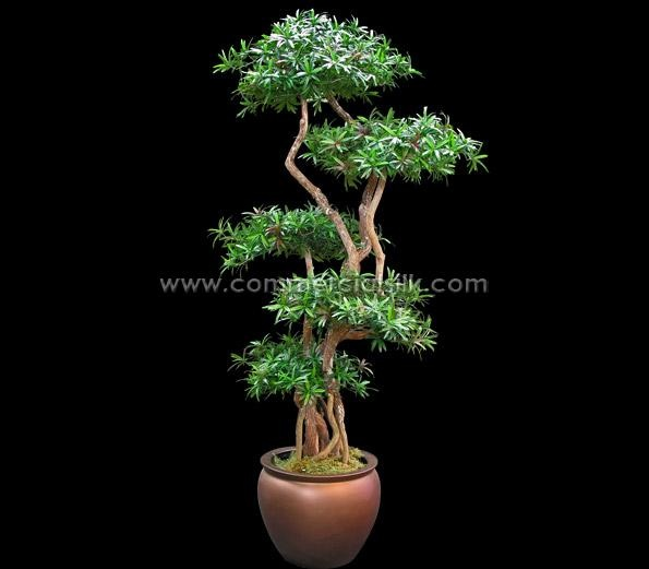 PODOCARPUS BONSAI TREE