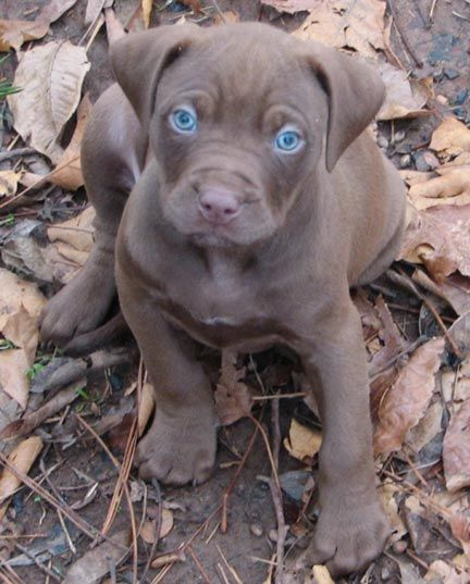 Chocolate Red Nose Pitbull Puppies | Chocolate Red Nose Pit Bull Puppy Look that those eyes!