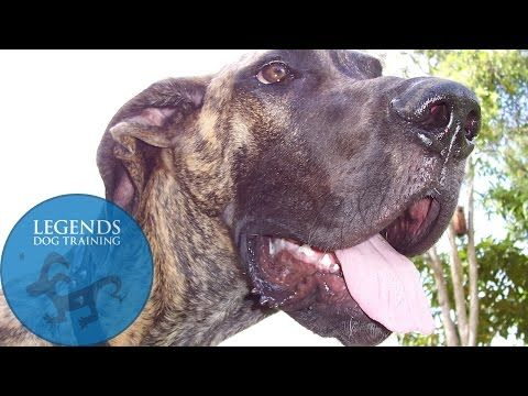 Great Dane Obedience And Crate Training You Can Find More