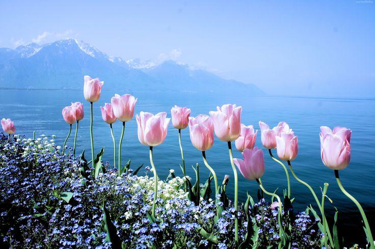 Edycja Tapety Wiosenne Kwiaty Tulipany Niezapominajki Gory Tapety Tapeta Zdjecia Tapety Na Pulpit Flowers Spring Flowers Tulips Flowers