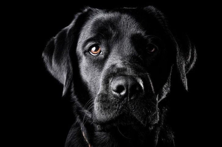 Stunning black labrador retriever. {Pet Photography} {Portrait} {Dog} {Lab}