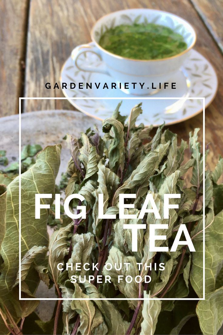 Healthy Fig Leaf Tea has more benefits than you realize. If you have a fig tree you need to read this!