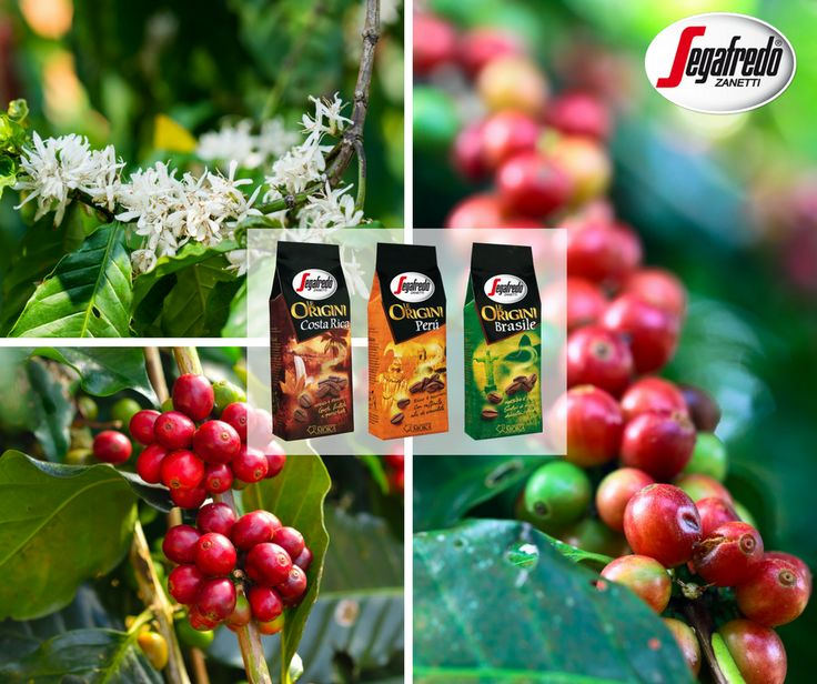 Warto przypomnieć, że Segafredo kontroluje cały proces produkcji kawy- od drzewka kawowego aż po filiżankę espresso. Dzięki zróżnicowanym lokalizacjom prywatnych plantacji, założyciela grupy MZBG, Massimo Zanettiego, możemy cieszyć się wyjątkowymi mieszankami single origin. http://www.sklepsegafredo.pl/segafredo-le-origini-brasile,id9.html #Segafredo #Espresso #Kawa #Coffee #CoffeeBean #MZBG #MassimoZanetti