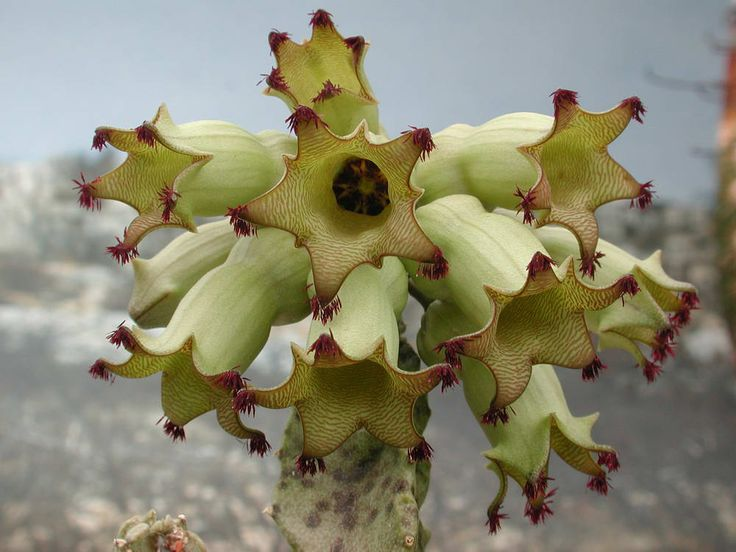 Monolluma solenophora Barad 001.JPG (1000×750)