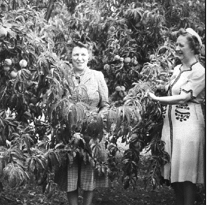 National Director of the Women's Land Army, Florence L. Hall, Visiting the LaFollette Peach Orchard, Marion County, 1944. With Hall (left) is Mabel Mack, supervisor of the Oregon Women's Land Army. Hall visited several harvesting operations in the Willamette Valley as well as the Coburg farm labor camp.