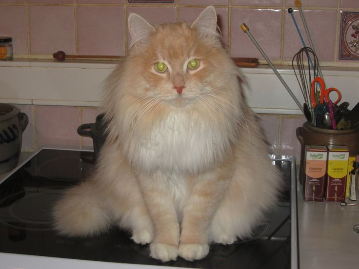 115 best chats sibériens - siberian cats & kittens images ...