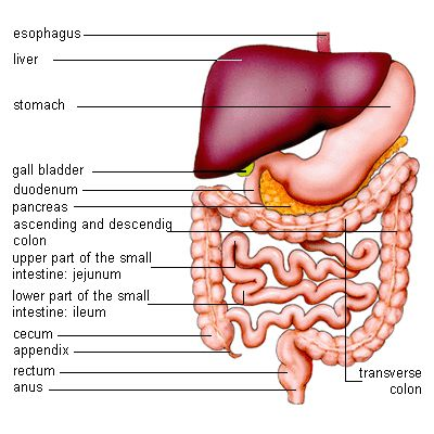 Fat Digestion Occurs Where | ... fat, water, electrolyte, vitamins and minerals occur in different