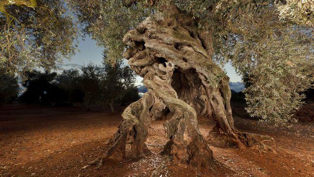 Olivo milenario llamado de las cuatro patas, en Canet lo Roig (Castellón). Imagen cedida por la mancomunidad de la Taula del Sénia.