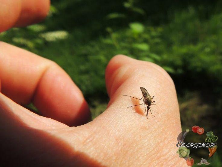 Сегодня я поделюсь с вами действительно чудодейственным средством от комаров. Теперь вы сможете спокойно поработать вечерком в огороде или же отдохнуть ... - Сад огород - Google+