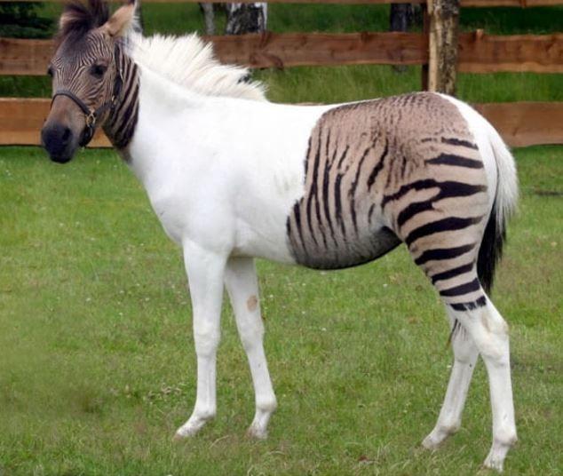 Zebroid (zebrony/ponibra ?), cross between a zebra & a pony
