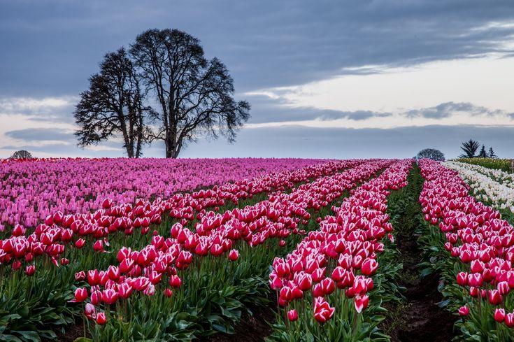 Tulipany, Pole, Drzewa