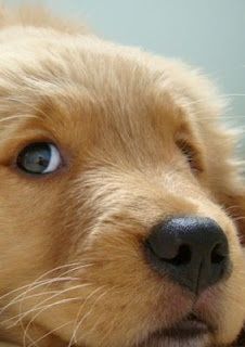 Adorably cute golden #retriever puppy