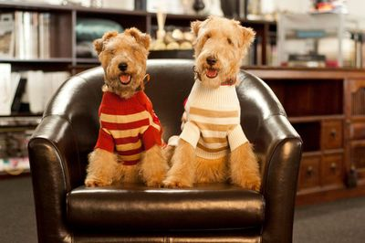 Our Lakeland Terriers (Jasper and Quin) are wearing their best knitted sweaters and are up for voting in this dog/puppy competition.