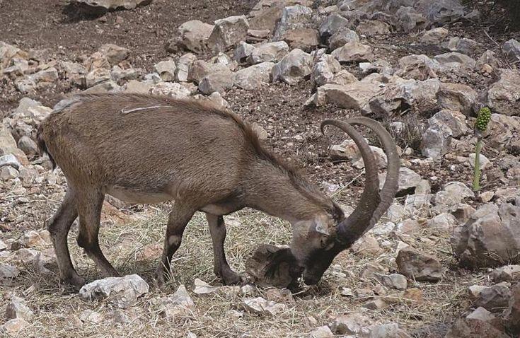 Πολλά είδη από σπάνια ζώα της Κρήτης κινδυνεύουν με εξαφάνιση εξαιτίας της μανίας των ανθρώπων να κυνηγούν, να υπερκαταναλώνουν και να καταστρέφουν το φυσικό ζωτικό τους χώρο.