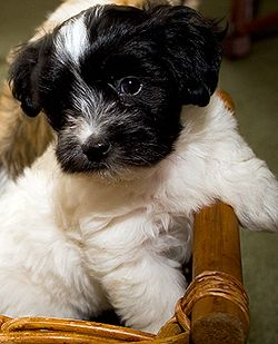 Havanese puppy, Havanese is the National dog of Cuba and its only native breed. This dog is considered a toy dog,  makes a wonderful companion pet with its silly and friendly temperament.