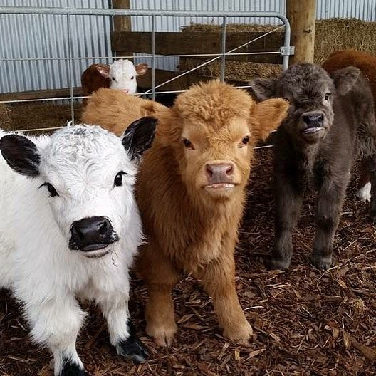 I love how the calf on the left is practically flawless and the calf in the middle is just like