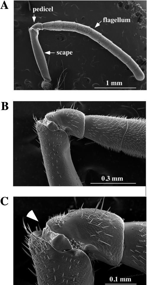 External morphology of the honey bee antenna. The honey bee antenna was examined by scanning electron microscopy with different magnifications (A; x40, B; x150, C; x 300). Two proximal antennal segments (scape and pedicel) and the ten segments of the flagellum are indicated by arrows in A. Arrowhead in C indicates the position of electrode insertion for SEP recordings. The scale of each panel is shown by a white bar.