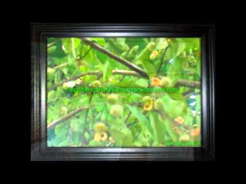 Bibit gaharu (Aquilaria malaccenis) anakan,biji Kasongan 081251826868