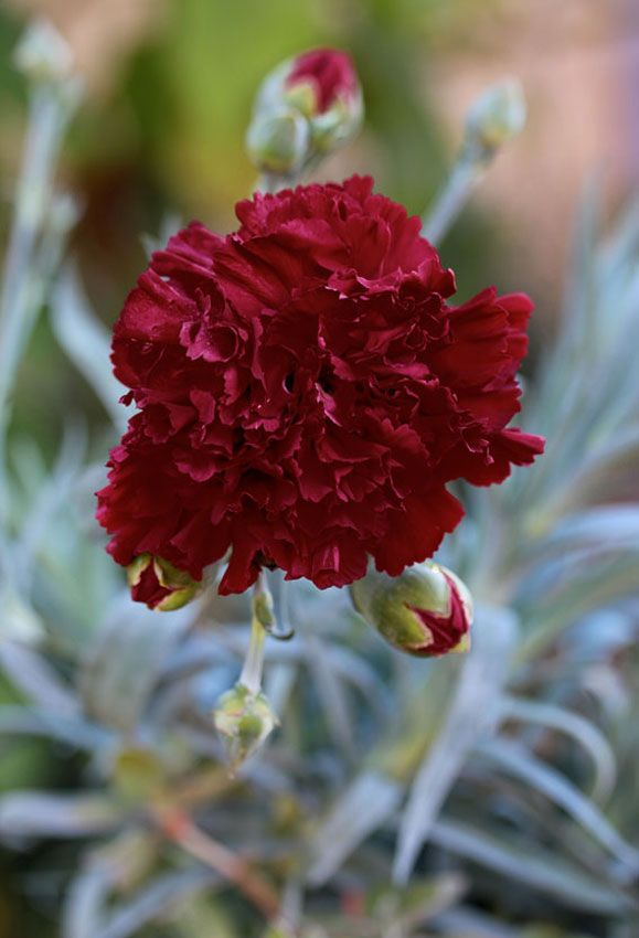 Dianthus caryophyllus 'Grenadin King of Blacks' In the Prairie grass flower bed