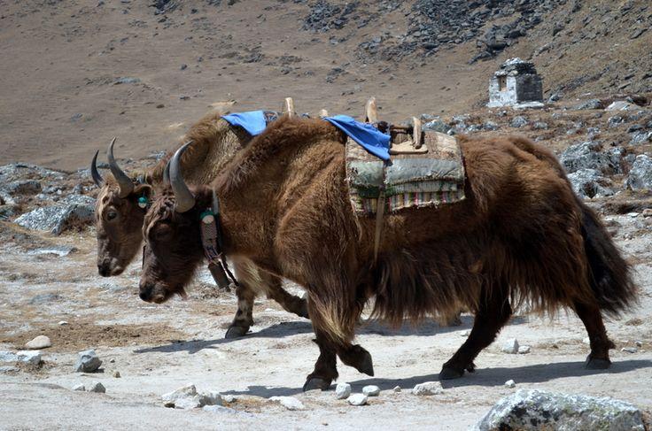 """Одним из ярких впечатлений трека к Базовому лагерю Эвереста всегда являются яки. Женскую особь называют """"нак"""". Это большие, просто огромные добрые и сильные животные. Напоминают быков, только очень-очень пушистые. Живут всегда выше 3500 м, так как на более низких высотах им очень некомфортно. Именно на этих мощных титанах Гималаев и происходит большая часть товарооборота в регионе Соло Кхумбу. Они несут груз на продажу вверх, доставляют вещи и снаряжение альпинистких экспедиций в базовые…"""