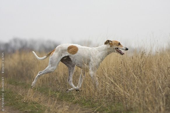 Ungarischer Windhund.   – Galgo Espanol