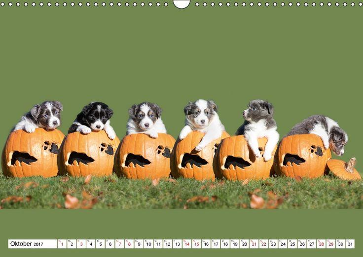 Gehütet wird später - Border Collie Welpen - CALVENDO Kalender von Andrea Mayer Tierfotografie