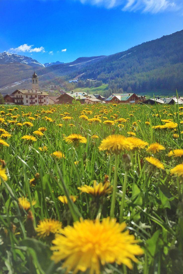 Raccogli un #fiore sulla terra e muoverai la stella più distante. (Paul Dirac). #Primavera a #Livigno! ** Pick a flower on earth and you move the farthest star. (Paul Dirac). #Spring in #Livigno!