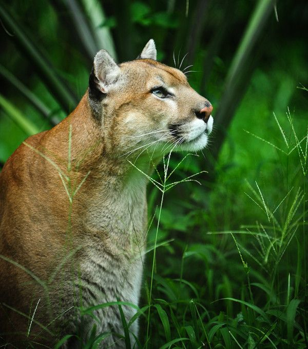 Florida Panther. (Sub-species of cougar)