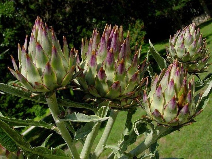 Cardoon Seeds A.K.a, Artichoke Thistle - Use as vegetable and grown for their large purple flowers and attractive silvery leave -Perennial