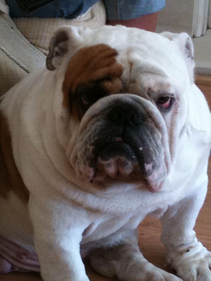grumpy beautiful bulldog