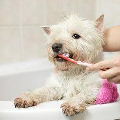 ¿Cómo hacer pasta de dientes casera para perros? - 4 recetas fáciles. El cuidado de los dientes de tu perro es tan importante como ponerle sus vacunas y estar atento a su salud, por ello en ExpertoAnimal podrás encontrar diversos...