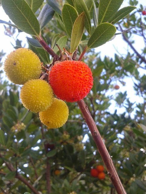 Il Blog di Sam: Il Corbezzolo, un frutto ingiustamente ignorato