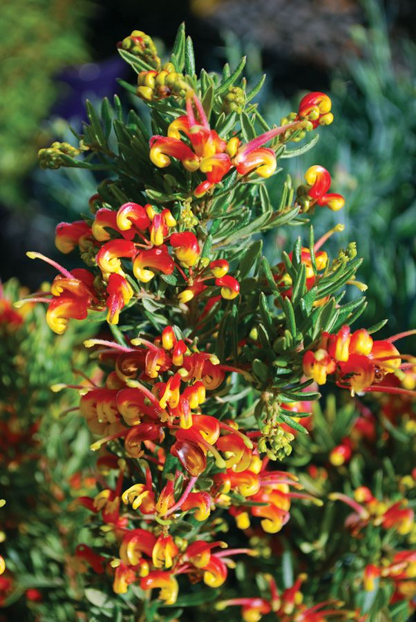Grevillea 'Fire Cracker'