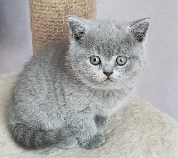 120 British Cat Names Cat Names British Shorthair Kittens Cute Cats