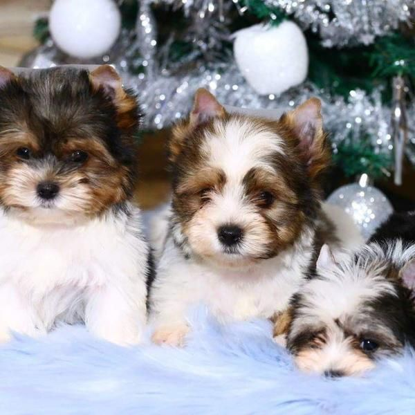 Amazing Parti Yorkies From Europe Yorkie Yorkie Puppy For Sale