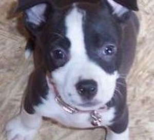 Jay Nixon: End breed specific legislation on American Pit Bull Terriers in Missouri