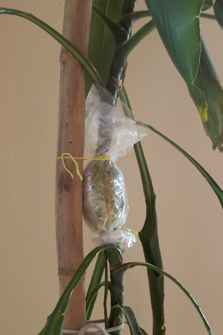 Air layering is a propagation method for woody plants that allows you to root branches while still attached to the parent plant. It is useful for plants that are hard ...