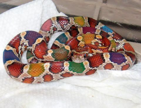 bright colored snake pictures - Bing Images