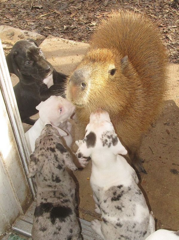 My heart just exploded. | This Is Cheesecake, The Capybara Who Adopts Orphaned Puppies