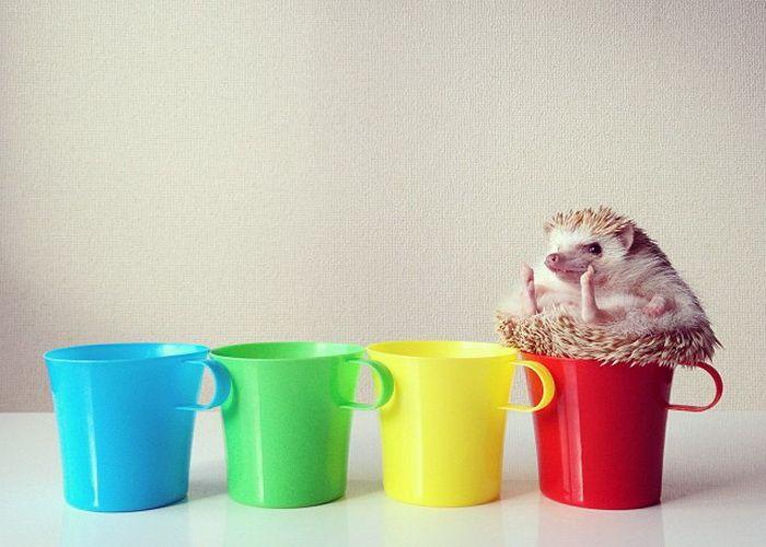 Очаровательная ежиха Дарси - звезда социальной сети Instagram. (7 фото)   Для многих из нас домашние животные – это неотъемлемая часть жизни, ведь так часто питомцы оказываются похожи на своих хозяев. Чаще всего в домах живут кошки и собаки, попугайчики и морские свинки, правда, иногда встречаются и более экзотические экземпляры. Например, ...  Читать всё: http://avivas.ru/topic/ocharovatelnaya_ejiha_darsi_zvezda_socialnoi_seti_instagram.html