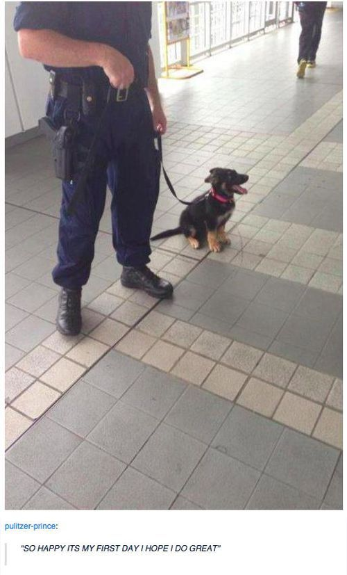 German shepherd puppy on its first day of the job. #cuteness