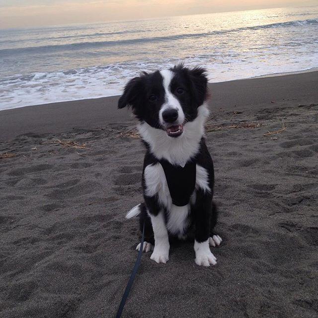 【alec_bc_76】さんのInstagramをピンしています。 《また海に行って遊んできたよ😉 楽しかったね😍 #bordercollie #black #white #dog #puppy #puppydog #cute #cutedog #smile #smiledog #🐶 #🐾 #犬 #子犬 #ボーダーコリー #湘南 #海》