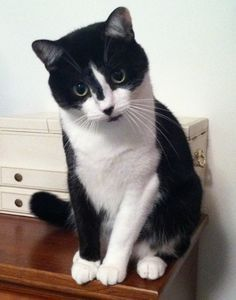 Handsome Tuxedo cat More See more black and white cat at - Catsincare.com